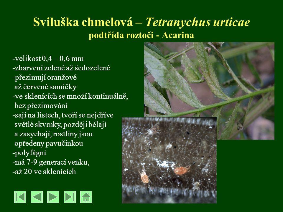Řád Chvostoskoci – Collembola -velikost cca 1-1,5 mm -na spodní straně zadečku mají skákací vidlici -živí se detritem -příležitostně ožírají kořínky, někdy nadzemní části rostlin -mohou poškozovat klíční rostliny -některé druhy škodí v žampionárnách OCHRANA: proti chvostoskokům na zelenině popř.