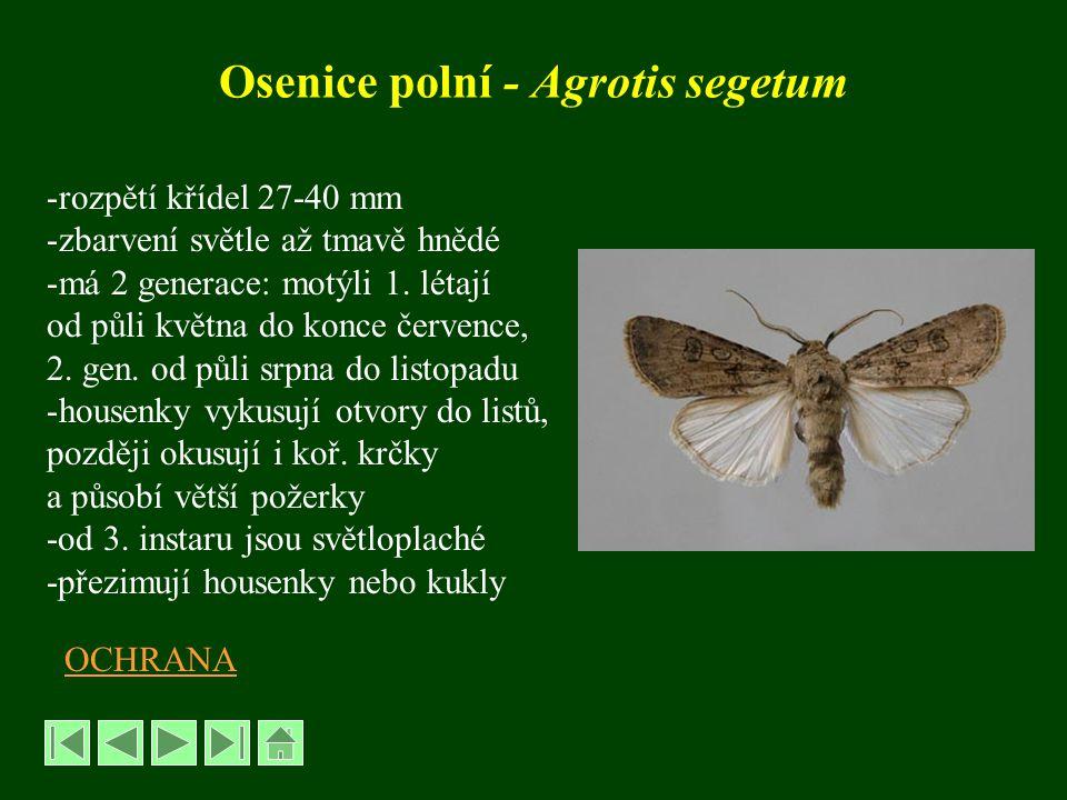 Osenice ypsilonová - Agrotis ipsilon - rozpětí křídel 35-50 mm -migrant -létá od července do září -housenky ožírají kořínky rostlin -polyfágpolyfág -významnější škody působí ojediněle OCHRANA