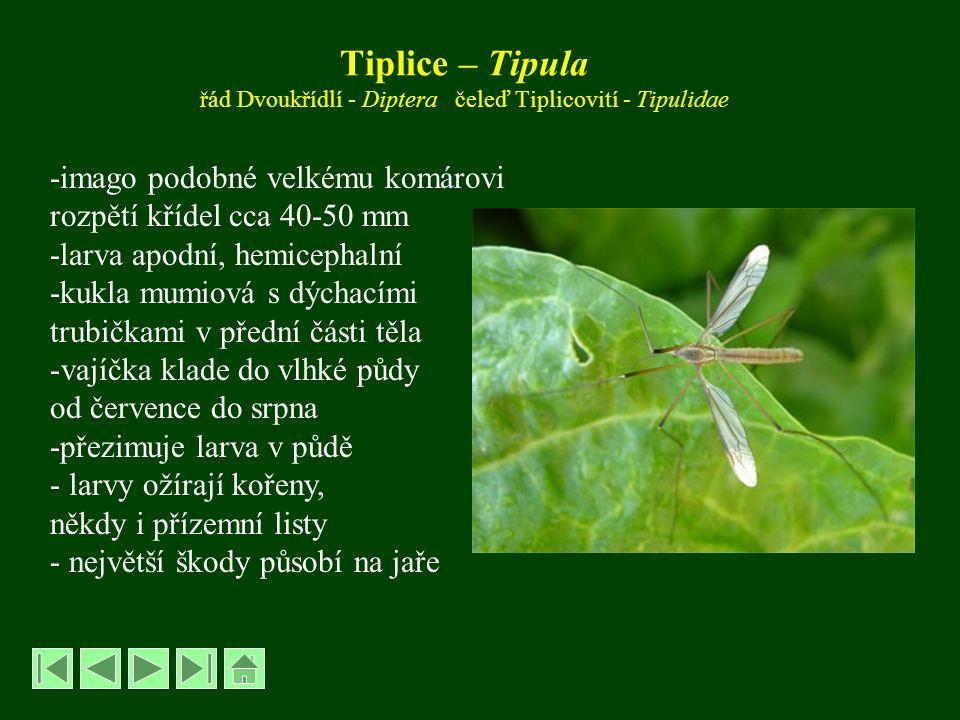Muchnice - Bibio řád Dvoukřídlí – Diptera, čeleď Muchnicovití – Bibionidae Muchnice březnová – Bibio marci, Muchnice zahradní – B.