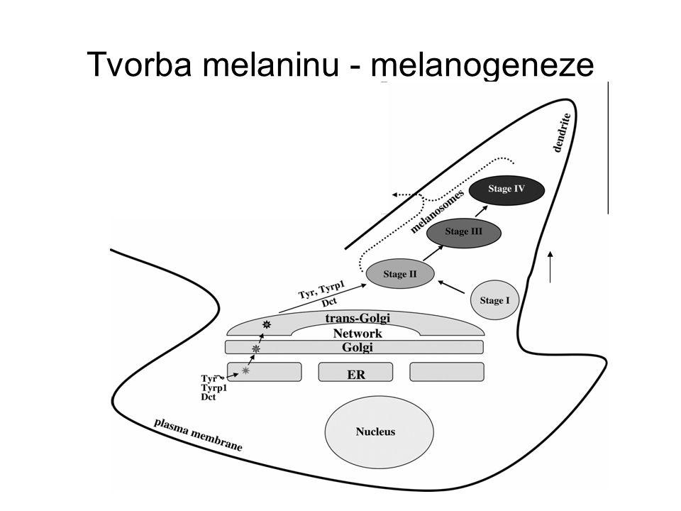 Čtyři i enzymy jsou pro syntézu melaninu nezbytné tyrosináza (TYR) – kritický krok – hydroxylace tyrosinu, tyrosinase- related protein 1 (TRP1), tyrosinase-related protein 2 ( TRP-2) a DOPAchrome tautomeráza (reakce DOPAchinon na DOPAchrom spontánn´oxidace Tvorba melaninu - melanogeneze