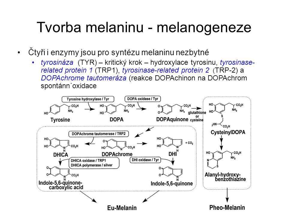 Regulační proteiny melanogeneze Vývoj melanocytů je zcela závislý na působení transkripčního faktoru, proteinu MITF (microphthalmia-associated transcription factors) : –aktivace regulačních transkripčních faktorů a signálních drah –kontrola proliferace a diferenciace melanoblastů a melanoctů.