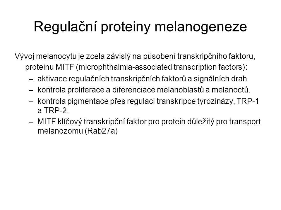 Parakrinní stimulace melanogeneze Melanogenezi stimululí melanotropní hormony - α-MSH, β-MSH, ACTH, odvozené z proopiomelanokortinu (POMC).