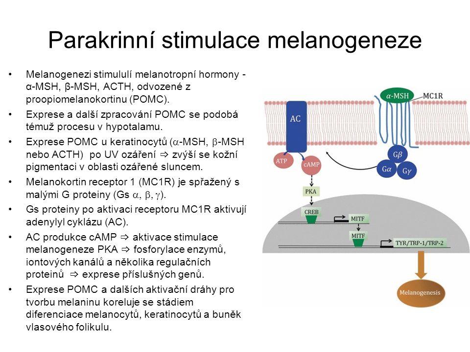 Melaniny Tmavohnědý eumelanin a rezavě zbarvený feomelanin Eumelanin - vysoce heterogenní polymer DHI a DHICA jednotek v redukovaném nebo oxidovaném stavu.