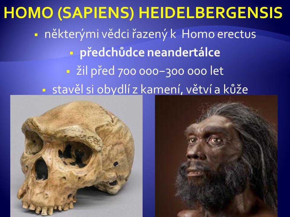 HOMO (SAPIENS) NEANDERTHALENSIS  žili před 150 000−40 000 lety v Evropě a Středním východě− souběžně s jinými předchůdci člověka  vymřeli jako slepá vývojová větev, ale pravděpodobně se křížili s kromaňonci  přizpůsobení době ledové: menší, svalnatá postava (165 cm) s kratšími, silnými končetinami  obličej s výrazným nosem, velkými nadočnicovými oblouky a mohutnou čelistí, často měli zrzavé vlasy  objem mozkovny byl větší než u současného člověka ( 1 400−1 700 cm 3 )  vytvářeli složitě opracované nástroje z kamene, dřeva a kostí  lovci velkých zvířat (oštěpy a kopí s kamennými hroty, primitivní sekery a palice)  jako obydlí využívali jeskyně nebo si stavěli jednoduché přístřešky především z mamutích kostí a klů, případně ze dřeva  pohřbívali mrtvé  jednoduchá řeč