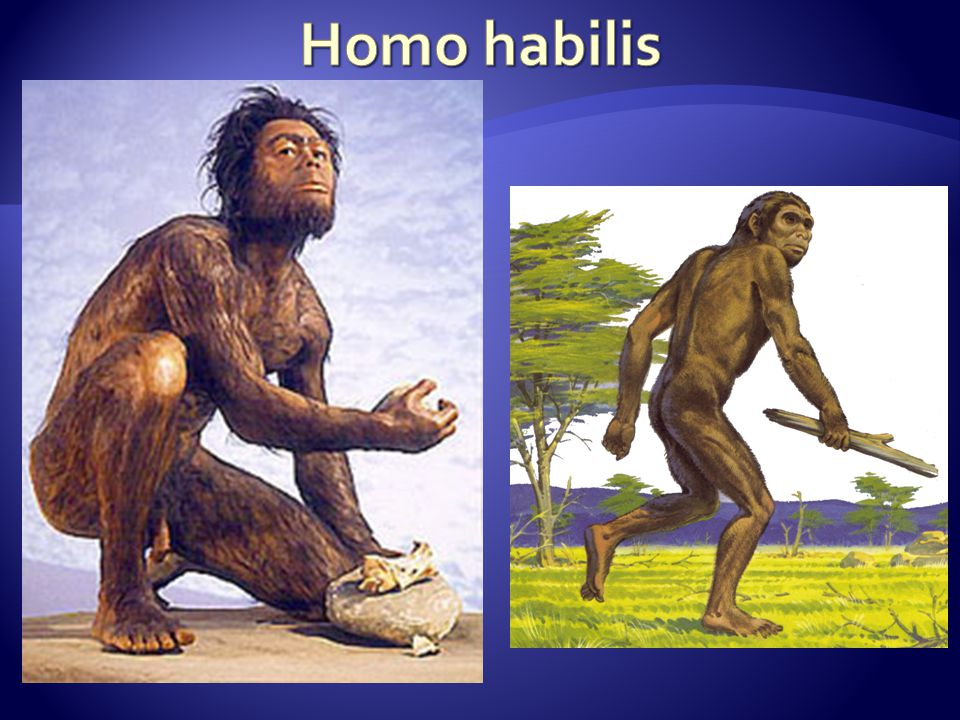 """ČLOVĚK PRACOVITÝ(dělný) (HOMO ERGASTER)  nedávno objevený mezičlánek mezi člověkem zručným (Homo habilis) a člověkem vzpřímeným (Homo erectus)  žil před 1,9 –1,4 milióny lety  jako první z rodu Homo se dokázal dostat z Afriky, nejprve do Asie a potom i do Evropy  stavba těla odpovídala horkému, suchému klimatu – byl vysoký, štíhlý, měl delší nohy a kratší ruce, ztratil většinu ochlupení  jméno """"pracovitý vychází z nálezů složitěji opracovaných nástrojů, používal již pěstní klín."""