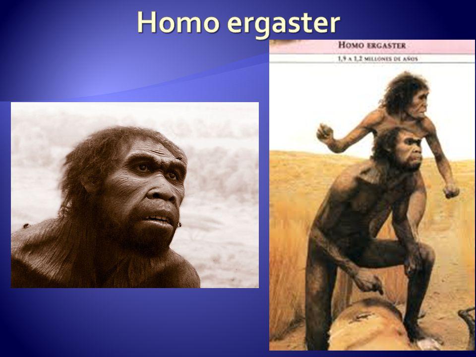 ČLOVĚK VZPŘÍMENÝ (HOMO ERECTUS)  žil před 1,5 mil.−250 000 let zejména v Asii, také v Africe a Evropě  vzpřímená postava s předkloněnou hlavou (170 cm, 60 kg)  úzká, nízká, mohutná mozkovna (1 000 cm³),  dozadu ubíhající čelo s výraznými nadočnicovými oblouky; mohutné čelisti bez brady  jedl maso i rostlinnou potravu, aktivně lovil, vyráběl nástroje (pěstní klín), používal oheň  žil v tlupách a dorozumíval se zvuky, které se staly základem řeči