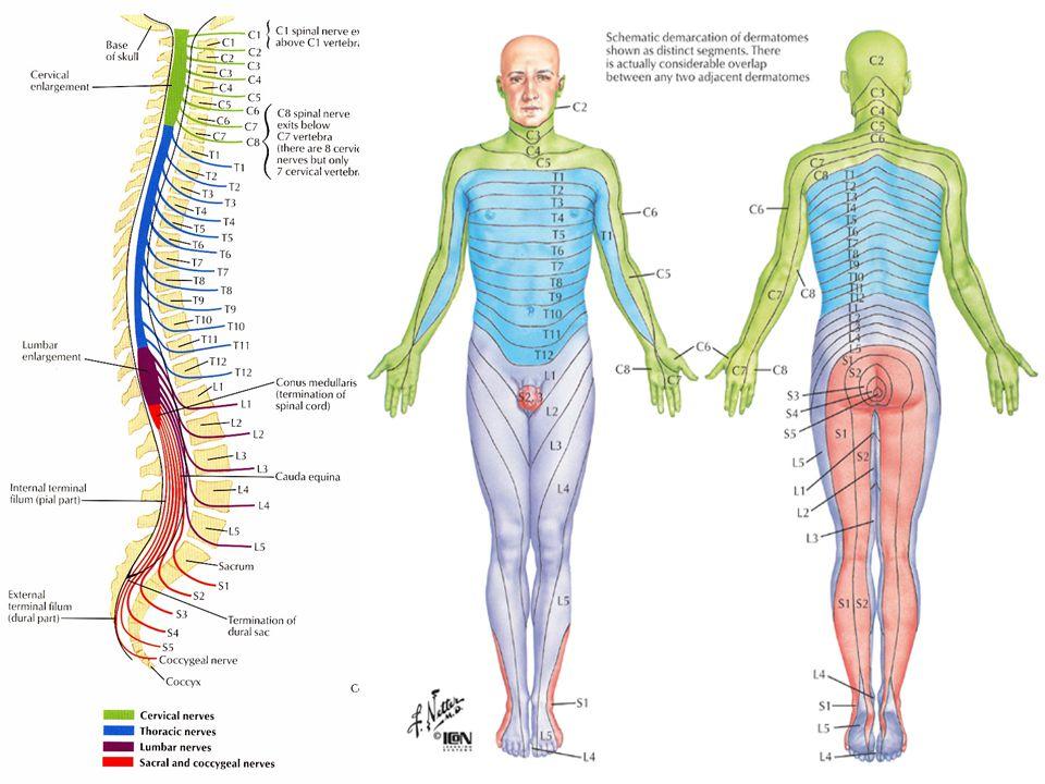 Radikulární a lokalizovaná bolest.