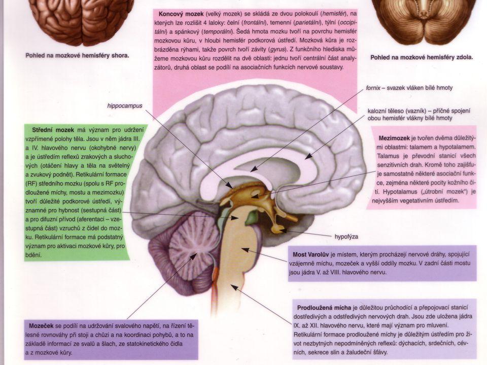 CNS šedá kůra mozková - mozkové lalokyšedá kůra mozková - mozkové laloky –čelní - motorické c., Brocovo c.