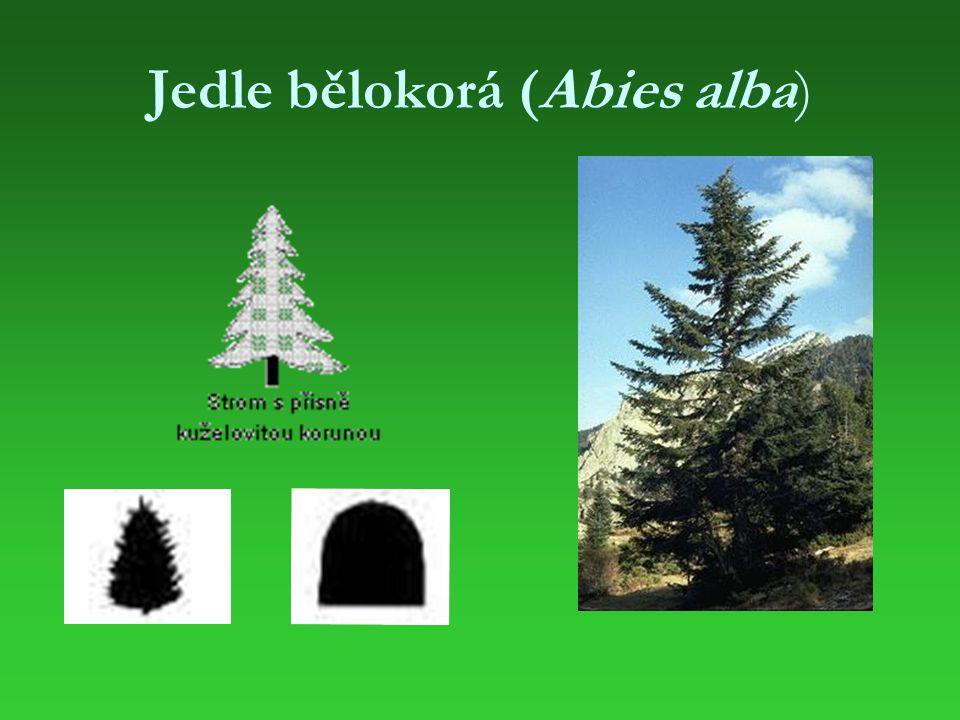 Charakteristika Jedle je vysoký statný jehličnatý strom s pyramidální až válcovitou korunou.