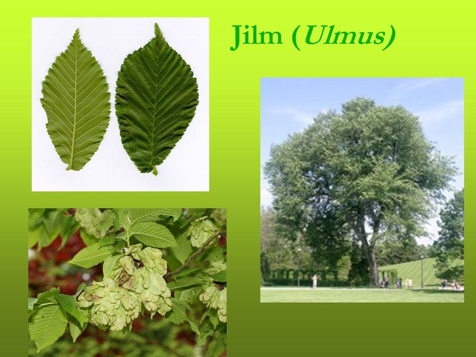 Javor mléč (Acer platanoides) Javor babyka (Acer campestre) Javor klen (Acer pseudoplatanus)