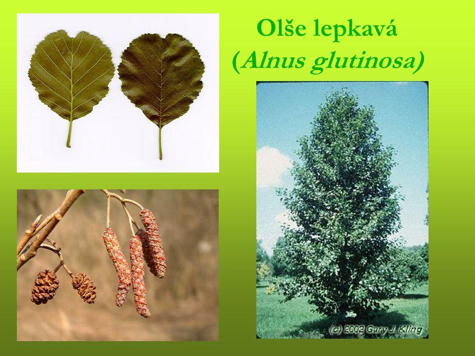 Topol bílý (Populus alba)