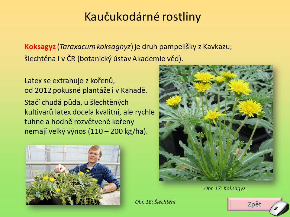 Zpět Guayula (Parthenium argentatum), je pouštní rostlina, keř rostoucí v Mexiku, výnosnost 400 kg/ha.
