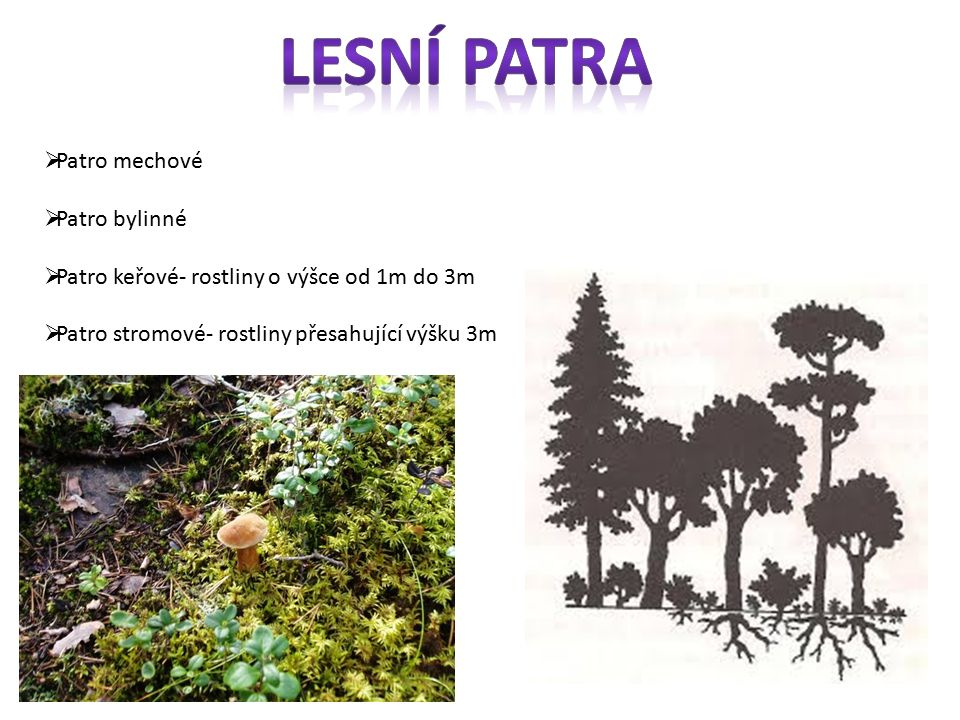 Lesní patra Patro mechové Patro bylinné