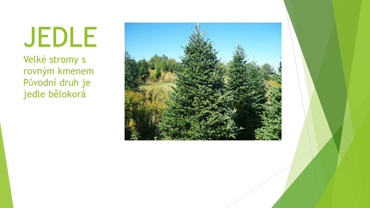 JEDLE Velké stromy s rovným kmenem Původní druh je jedle bělokorá