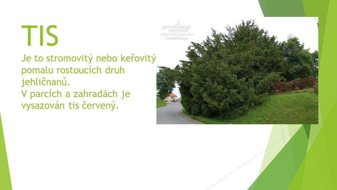 TIS Je to stromovitý nebo keřovitý pomalu rostoucích druh jehličnanů