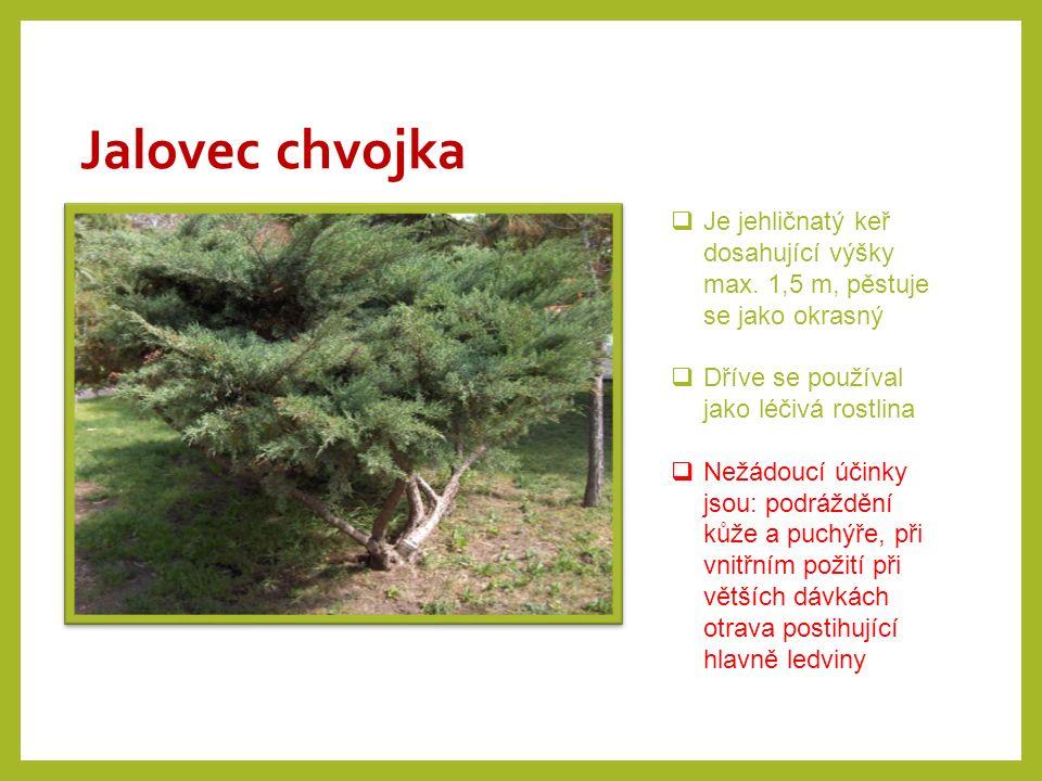 Jalovec chvojka Je jehličnatý keř dosahující výšky max. 1,5 m, pěstuje se jako okrasný. Dříve se používal jako léčivá rostlina.
