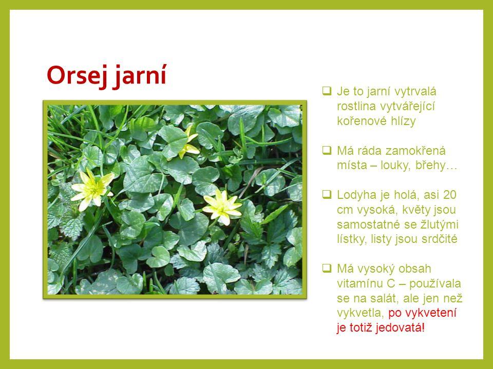 Orsej jarní Je to jarní vytrvalá rostlina vytvářející kořenové hlízy