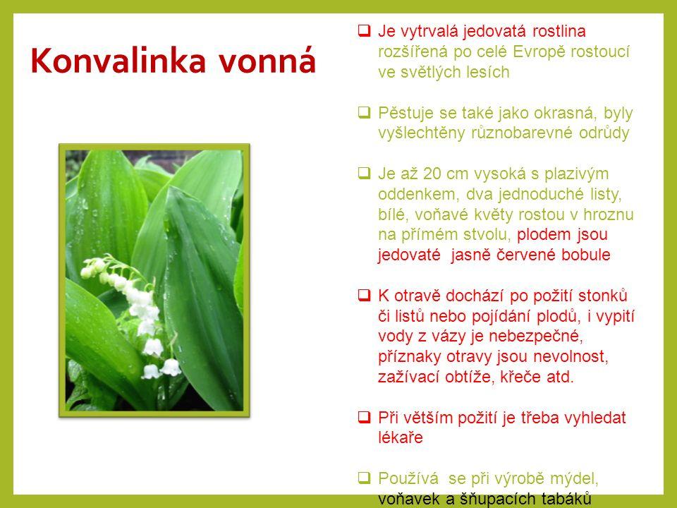 Konvalinka vonná Je vytrvalá jedovatá rostlina rozšířená po celé Evropě rostoucí ve světlých lesích.