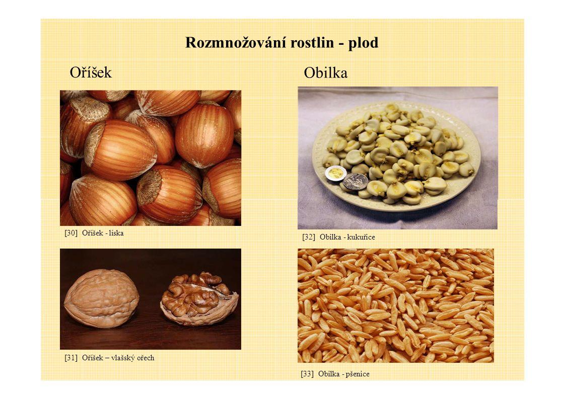 Rozmnožování rostlin - plod Obilka Oříšek