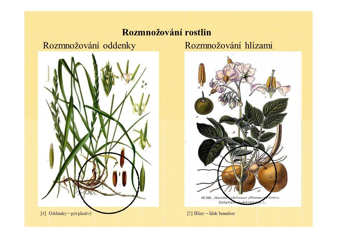 Rozmnožování rostlin Rozmnožování oddenky Rozmnožování hlízami