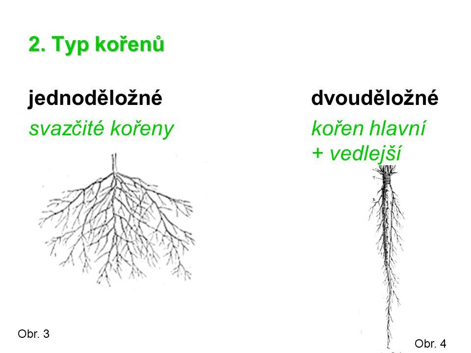 jednoděložné dvouděložné svazčité kořeny kořen hlavní + vedlejší