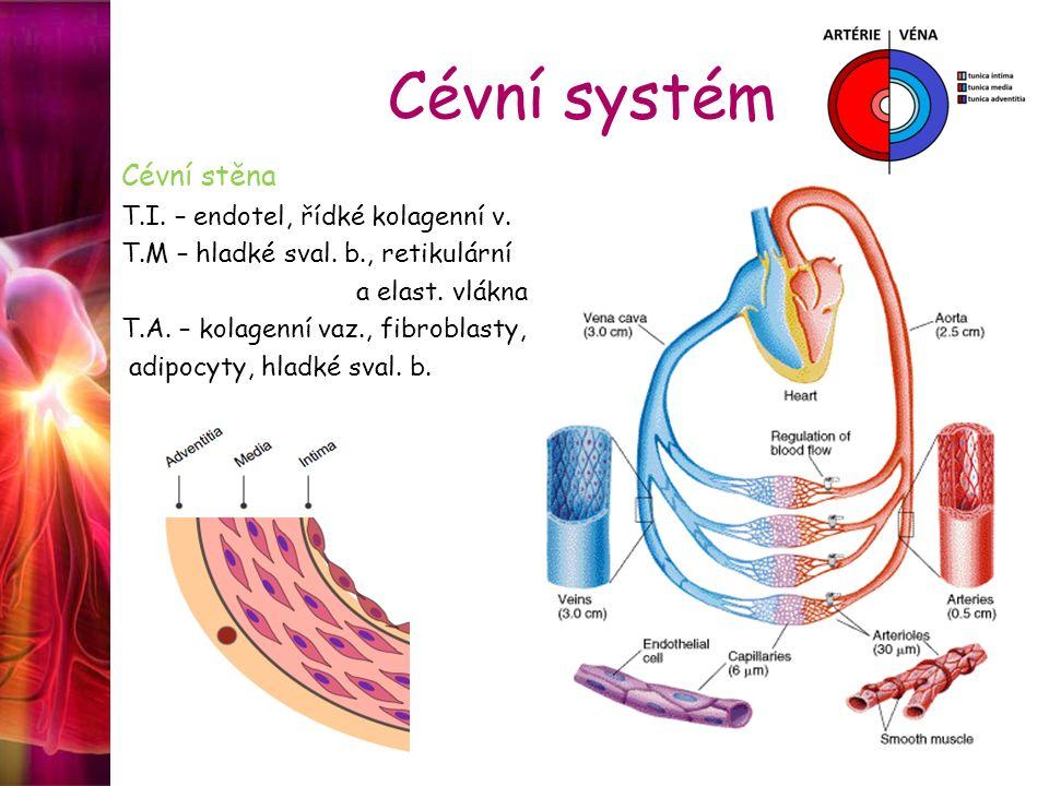 Cévní systém Cévní stěna T.I. – endotel, řídké kolagenní v.