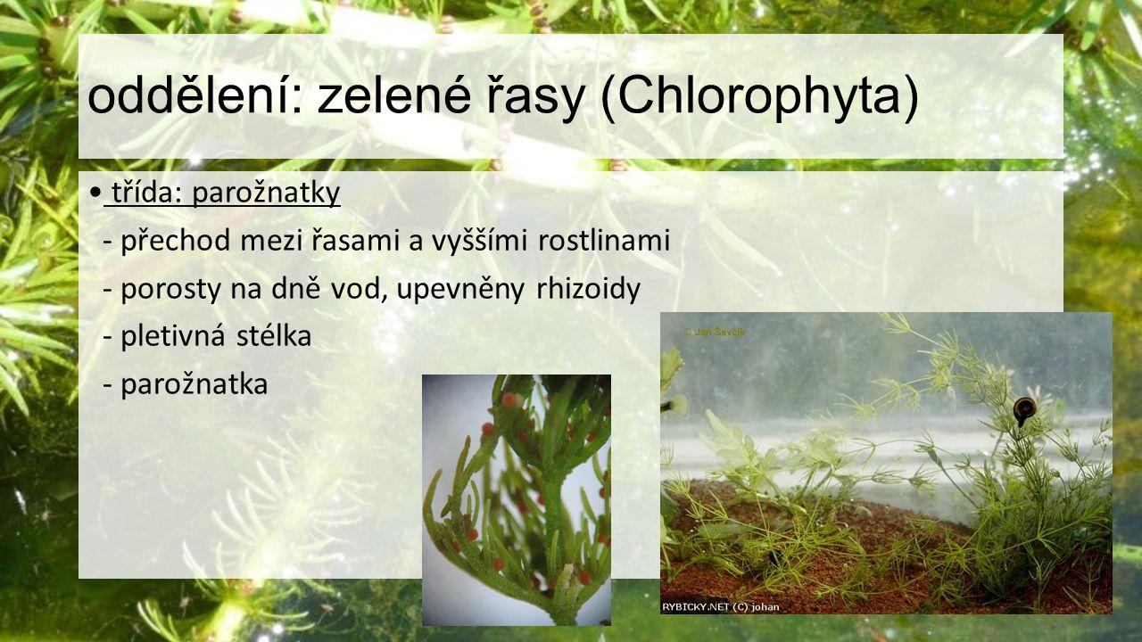 oddělení: zelené řasy (Chlorophyta)