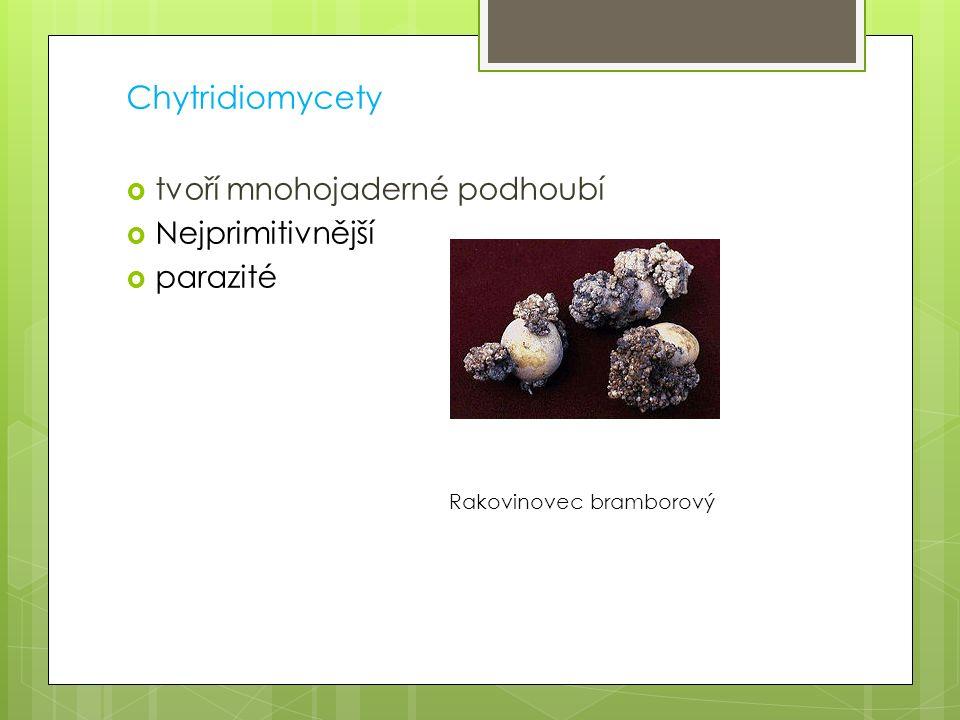 Chytridiomycety tvoří mnohojaderné podhoubí Nejprimitivnější parazité