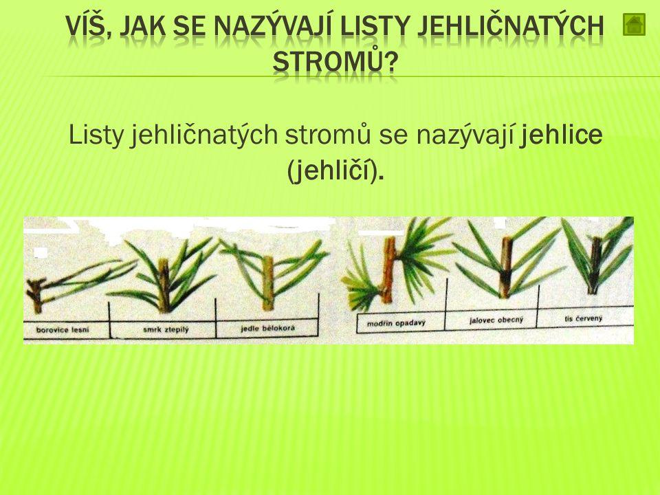 Víš, jak se nazývají listy jehličnatých stromů