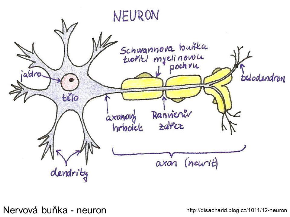 Nervová buňka - neuron http://disacharid.blog.cz/1011/12-neuron