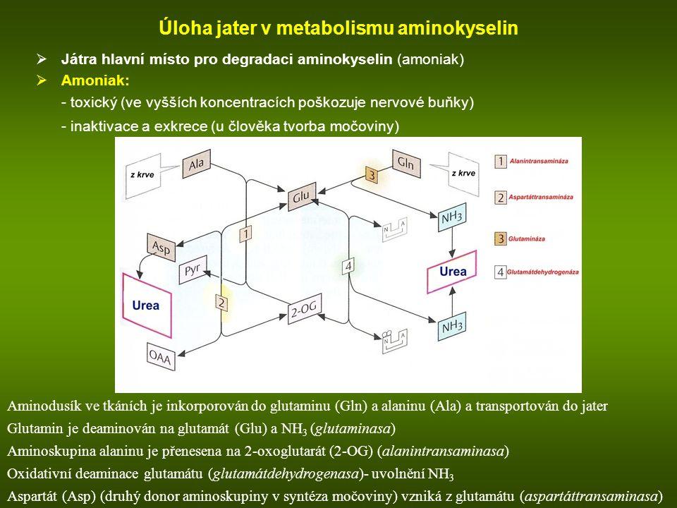 Úloha jater v metabolismu aminokyselin
