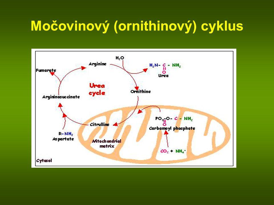 Močovinový (ornithinový) cyklus