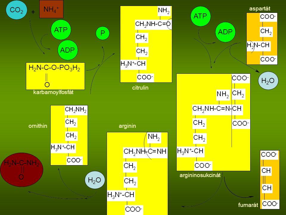 CO2 NH4+ + ATP ATP ADP P ADP H2N-C-O-PO3H2 O H2O H2N-C-NH2 O H2O