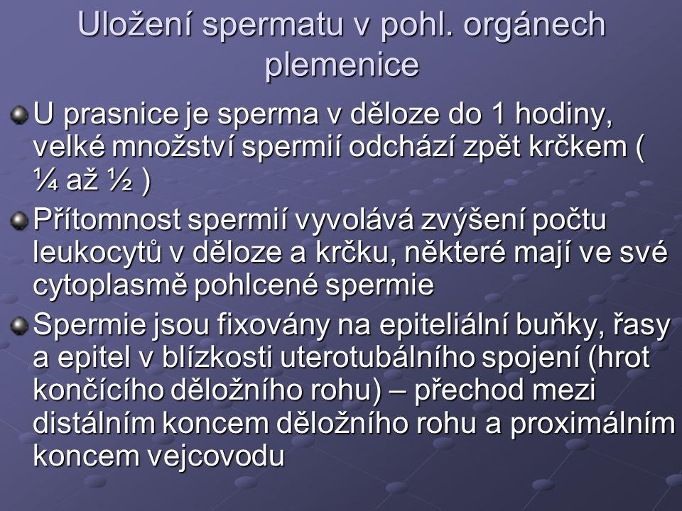 Uložení spermatu v pohl. orgánech plemenice