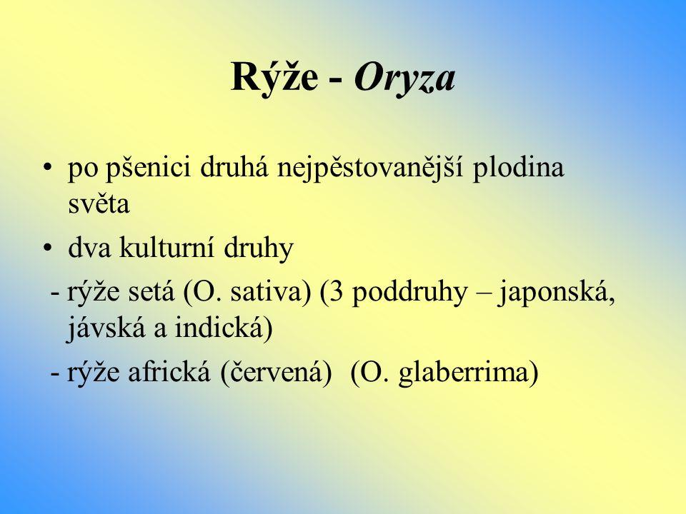 Rýže - Oryza po pšenici druhá nejpěstovanější plodina světa