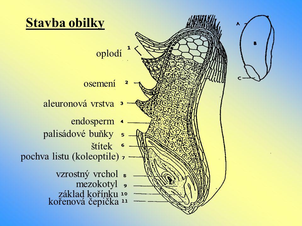 Stavba obilky oplodí osemení aleuronová vrstva endosperm