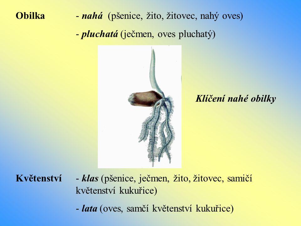 Obilka - nahá (pšenice, žito, žitovec, nahý oves)