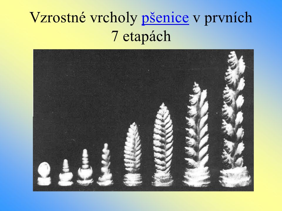 Vzrostné vrcholy pšenice v prvních 7 etapách