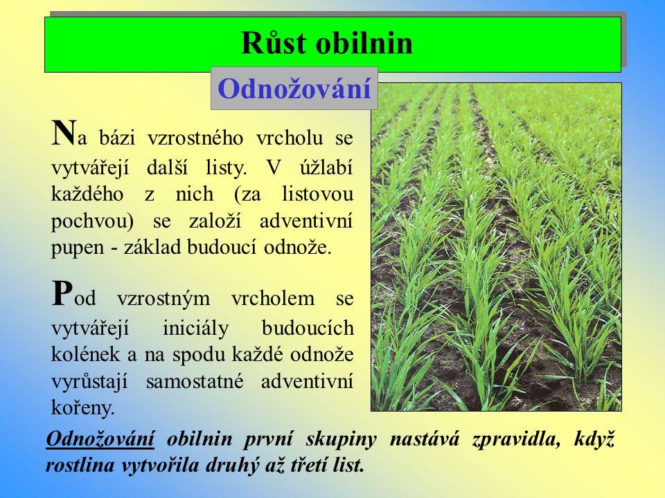 Růst obilnin Odnožování.