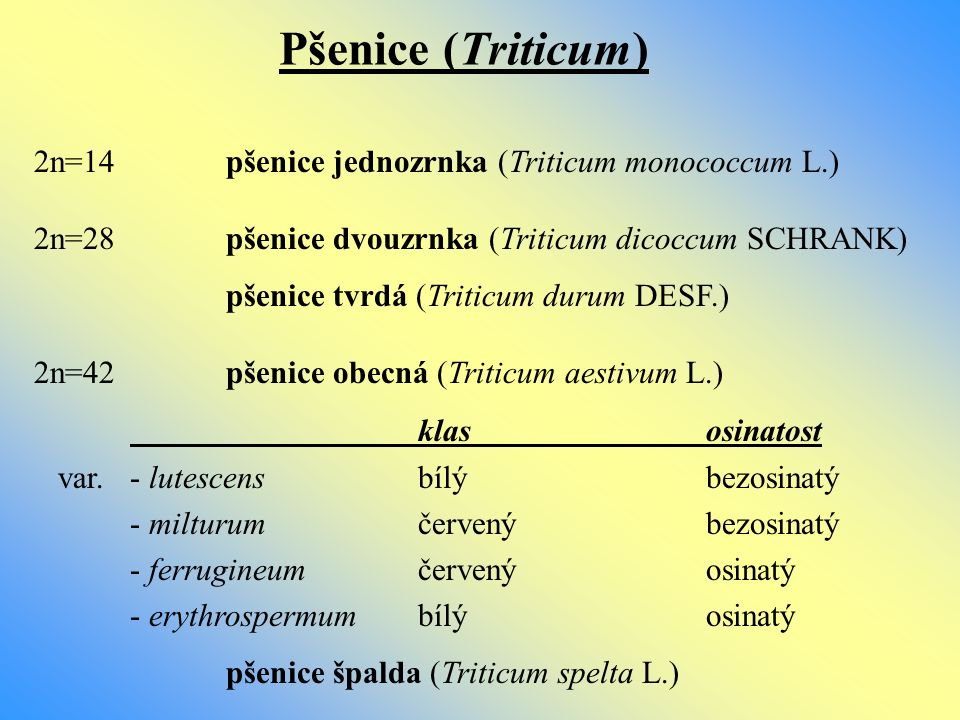 Pšenice (Triticum) 2n=14 pšenice jednozrnka (Triticum monococcum L.)