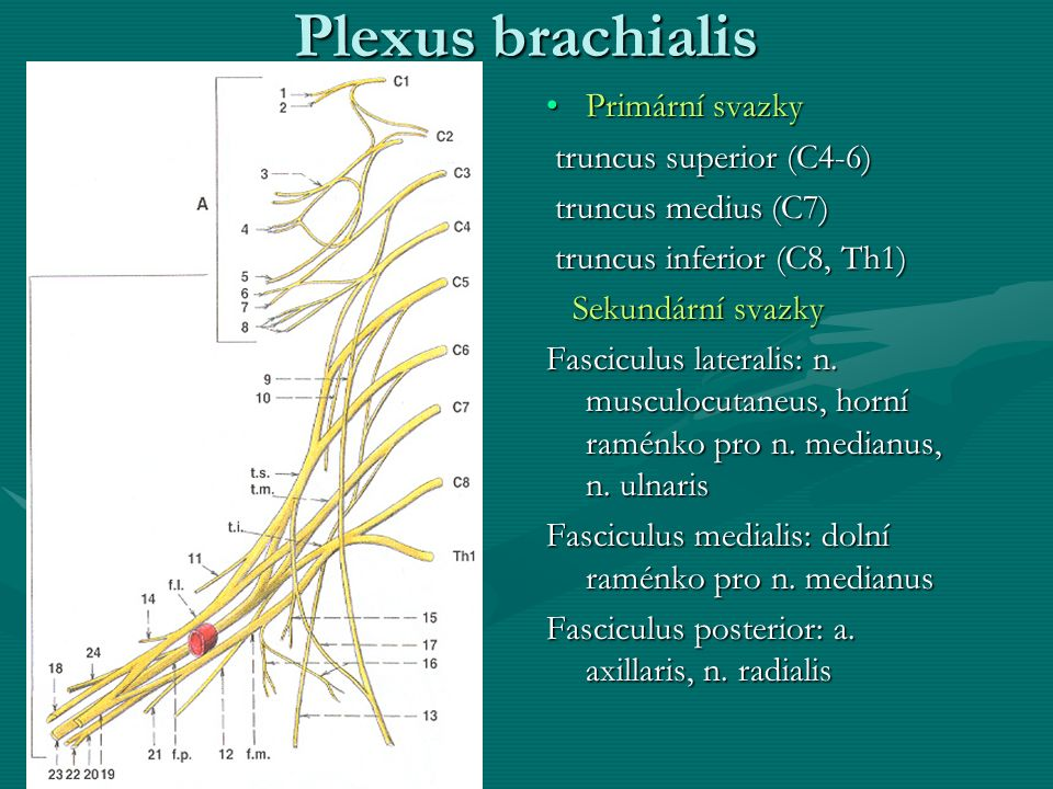 Plexus brachialis Primární svazky truncus superior (C4-6)