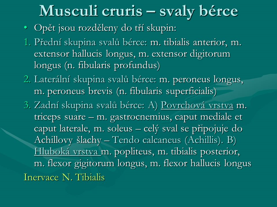 Musculi cruris – svaly bérce
