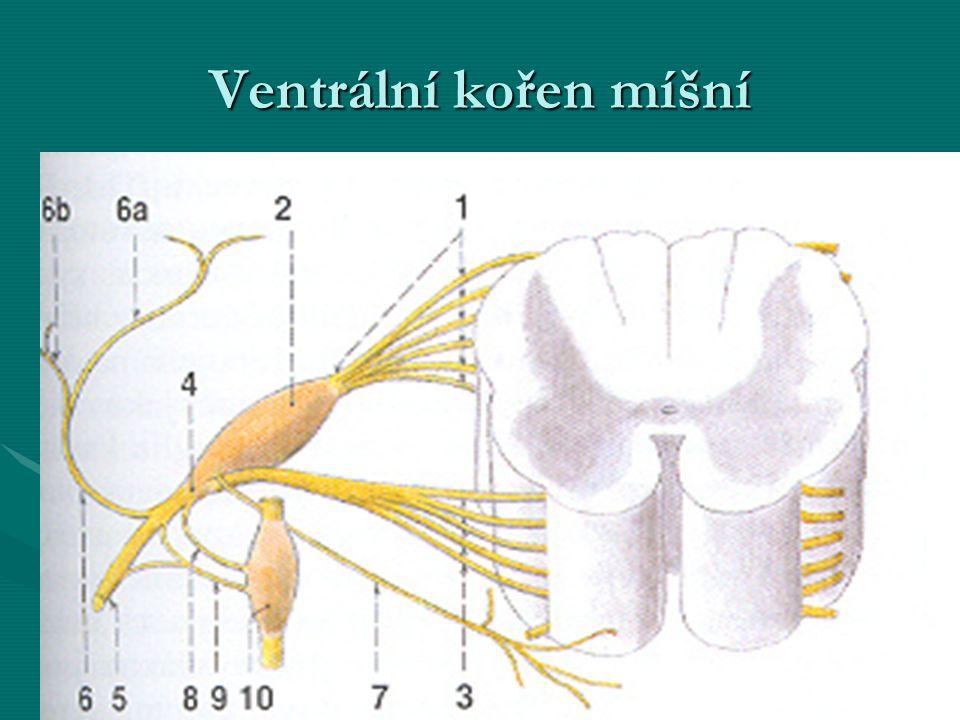 Ventrální kořen míšní