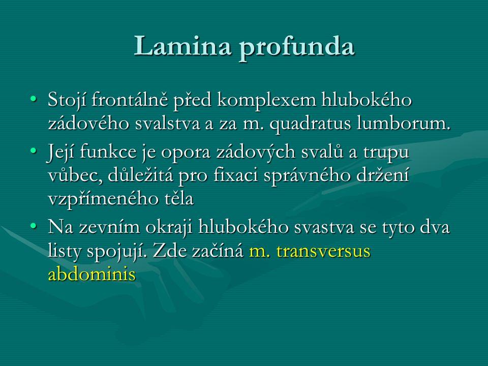 Lamina profunda Stojí frontálně před komplexem hlubokého zádového svalstva a za m. quadratus lumborum.