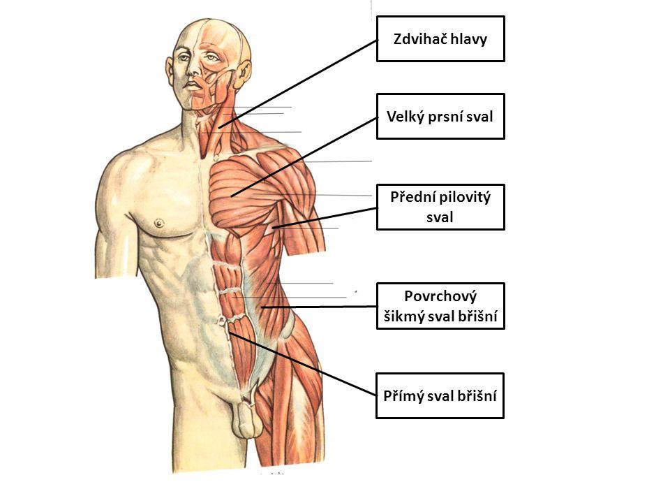 Povrchový šikmý sval břišní