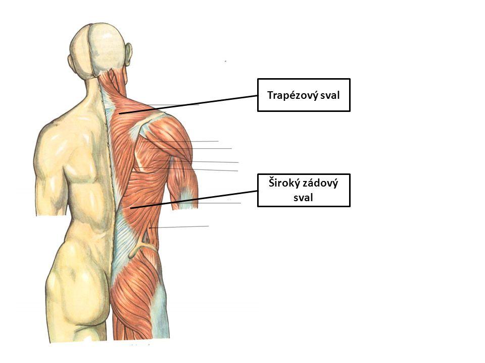 Trapézový sval Široký zádový sval