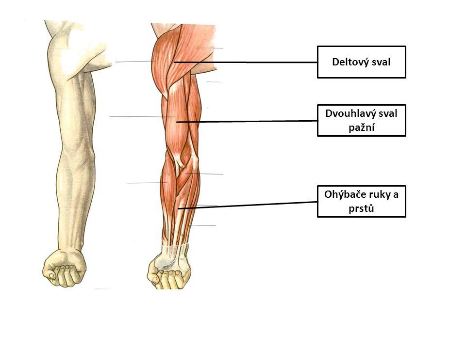 Deltový sval Dvouhlavý sval pažní Ohýbače ruky a prstů