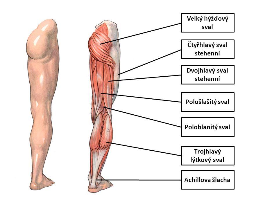 Čtyřhlavý sval stehenní Dvojhlavý sval stehenní Trojhlavý lýtkový sval