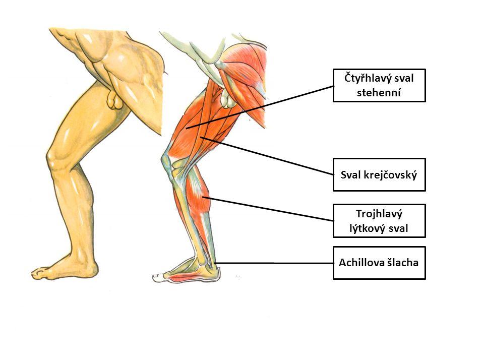 Čtyřhlavý sval stehenní Trojhlavý lýtkový sval