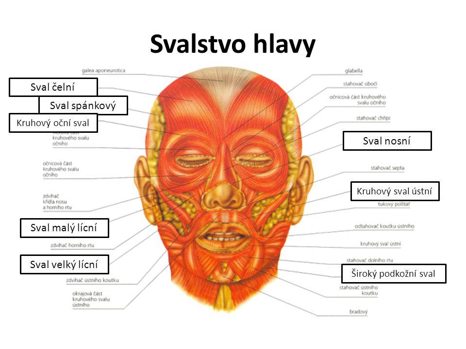 Svalstvo hlavy Sval čelní Sval spánkový Sval nosní Sval malý lícní